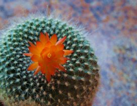Macro orange cactus flower - Beautiful plant from desert