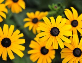 Yellow flowers - Gloriosa Daisy HD wallpaper