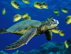 Turtle swimming under the ocean water - HD see animal