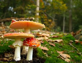 Poison mushrooms in the forest - Autumn season