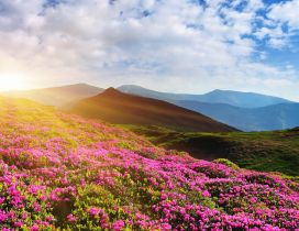Beautiful pink rhododendron flowers on the mountain -Sun day