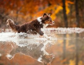 Happy dog run into the water - Autumn season background