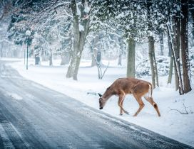 Friendly deer near the road - Beautiful winter cold season