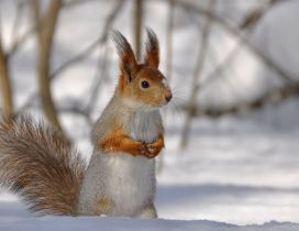 Sweet little squirrel in the snow - HD wallpaper