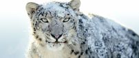 Snow on a furious Siberian tiger - HD wallpaper
