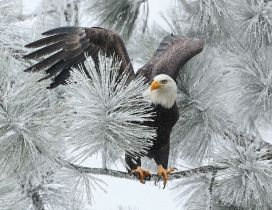 Big black eagle on a frozen branch of tree - Wonderful photo
