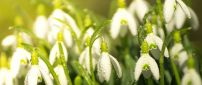 Water drops on the snowdrops - Good morning spring season