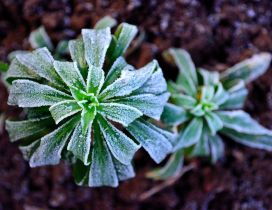 Macro frozen plant in the nature - Winter cold season time