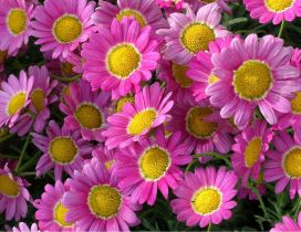 Beautiful pink Marguerite Daisy flowers in all background