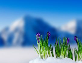 Wonderful purple flowers in the snow - Spring season