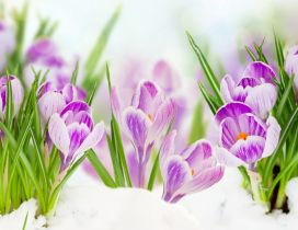 Good morning beautiful purple Crocuses spring flowers