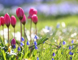 Pink tulips and blue flowers in the garden -Spring sunny day