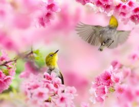 Two little birds singing in the blossom tree - Pink flowers