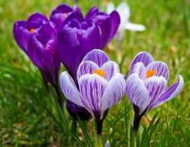 Wonderful purple and white crocuses spring flowers
