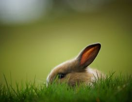 Light brown rabbit in the green grass - Domestic animal